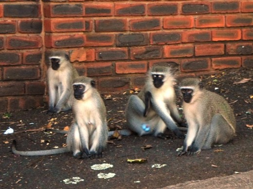Invasion of Blue Apes in Durban's elite suburbs