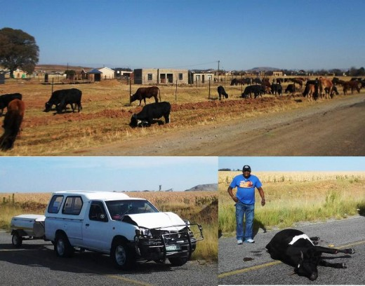 Cattle grazing right next to national and provincial roads, causing cruelty to man and animal