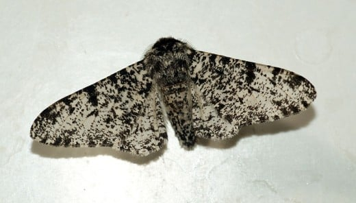 The typica form of the peppered moth seen here was the most common form of the peppered moth in Britain prior to the industrial revolution.