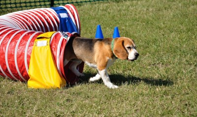 Bonus points for breeders that enter their dogs in agility and obedience competitions!