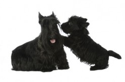 Scottish Terrier Puppy Tips To Control Biting.