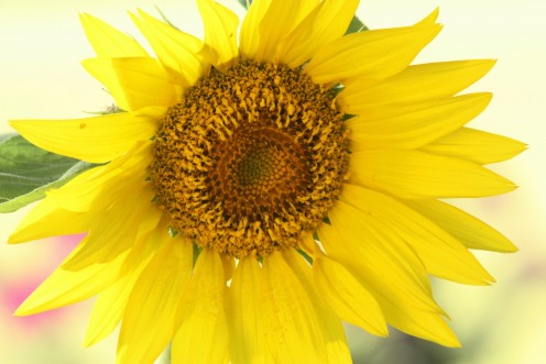 Sunflowers are very hardy flowers for summer gardens.