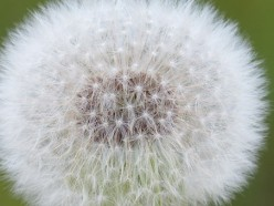 Dandelion You Always Fly Free