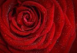 Rose Of Romance