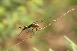 Female widow skimmer dragonfly, warming her wings.