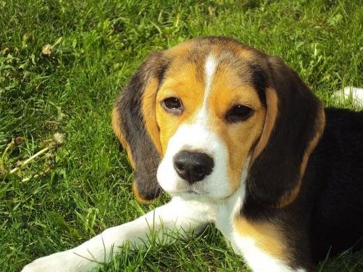 An adorable hound dog