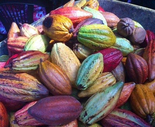 Where Does Chocolate Come From? -- Cacao pods may be of different colors, but all yield the beans for making chocolate.