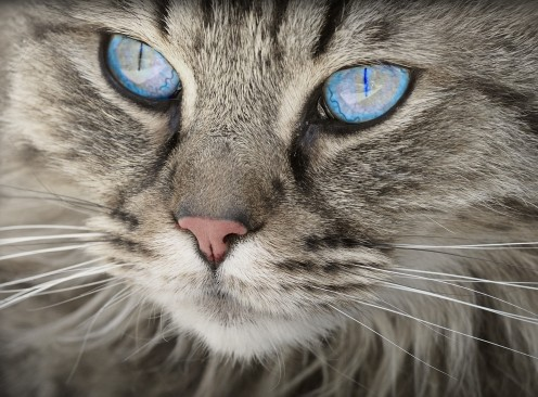 Signs of Parasite Infections in Cats