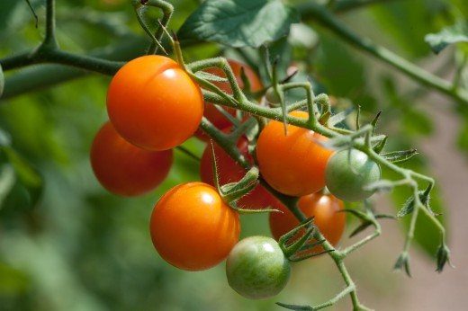 Sun gold tomato is very popular and sweet.