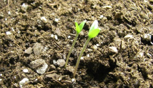 Two seedlings will be in a single cell but eventually the weaker looking one will be nipped off at the soil line. This ensures roots of the seedlings don't entangle.