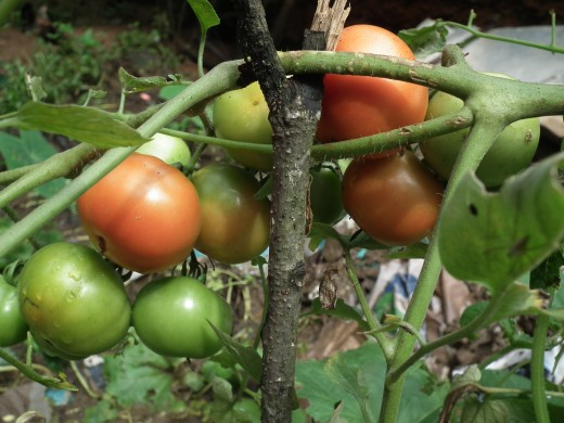 Don't give up on the green tomato. It will eventually pay good dividends if you are also able to ripen these.