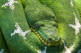 The green tree python is a beautiful but aggressive snake and should only be kept by experienced snake keepers.