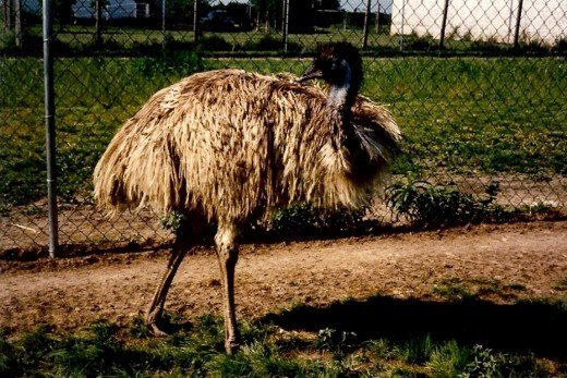 Adult Emu we named Hicks. He was quite aggressive and protective of his chosen mate.