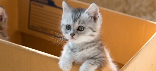Cat Adoption & Purchasing