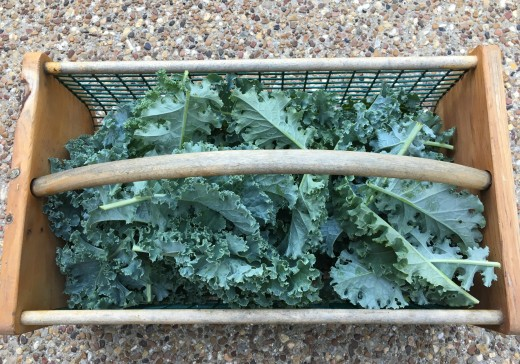 My garden hod filled with a harvest of kale.