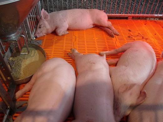 Pigs (Charoen Pokphand Group (CP)) -- Chiangmai, Thailand