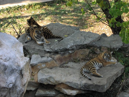 3 of the 5 new baby tigers born at the Zoo