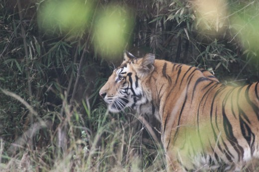 Male Tiger in Grassland