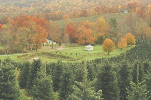 North Carolina Christmas Tree Farm