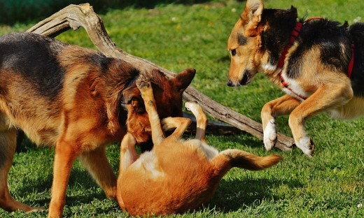 These dogs are playing, NOT fighting!