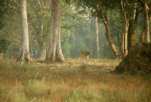 Spotted deer (also known as cheetal) in Kanha National Park.