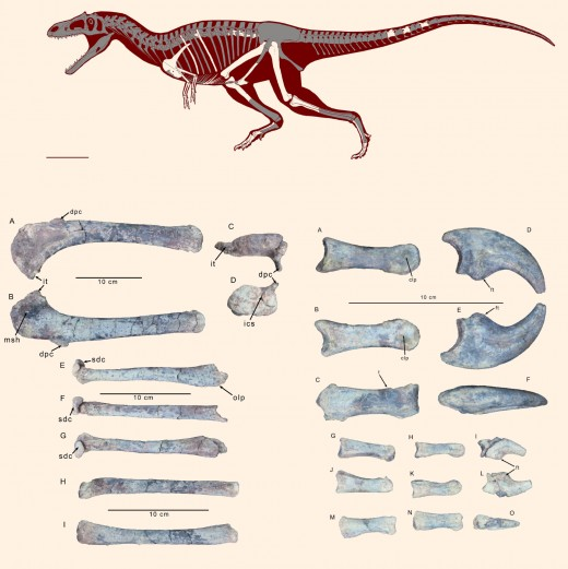 Known Gualicho remains and projected anatomy by Jorge Gonzalez  and Sebastian Apesteguia.