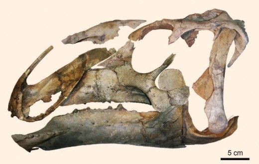 Eotrachodon skull