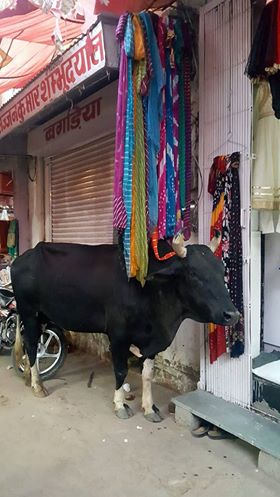 Holy Cow at Indian Baazar