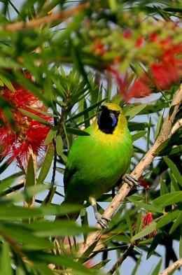 Jerdon,s Leaf Bird
