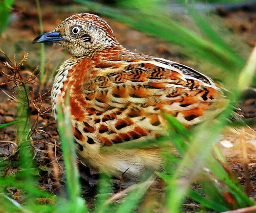 Barred Buttonquail (Turnix Suscitator)