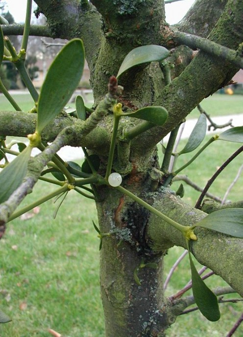 European mistletoe (Viscum album) fruits and leaves.