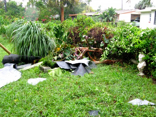Several of my banana trees were flattened by flying debris that came off a neighbor's roof.