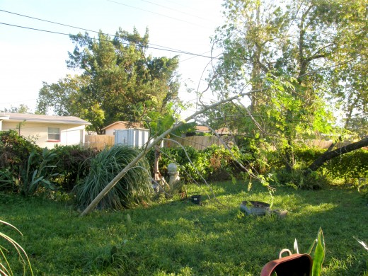 My prized moringa tree stood at a 45 degree angle the morning after the storm.  It has since been restored to an upright position.