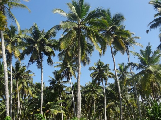 Coconut trees - a usual sight in Kerala. They are everywhere!