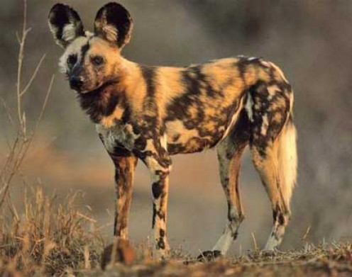 top 10 most dangerous wild dogs pethelpful