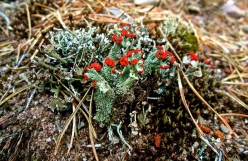 The British Soldiers or Cladonia Cristatella