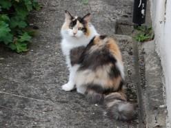 Calico - Tortoiseshell Cat