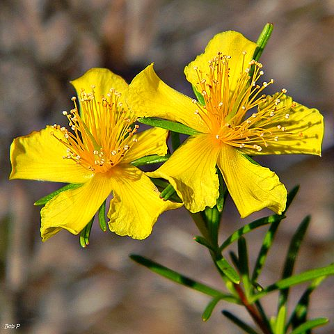 The photo shows St. Johns wort flowers.