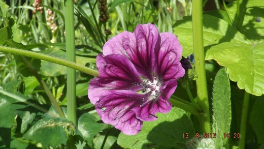 Wild Mallow appeared on its own