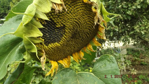 Sunflower another self seed