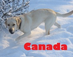 Best Large Dog Breeds From Canada