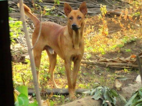 Pariah Dog (Indog)
