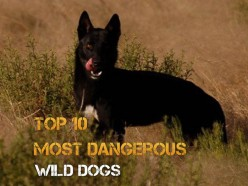 Top 10 Most Dangerous Wild Dogs