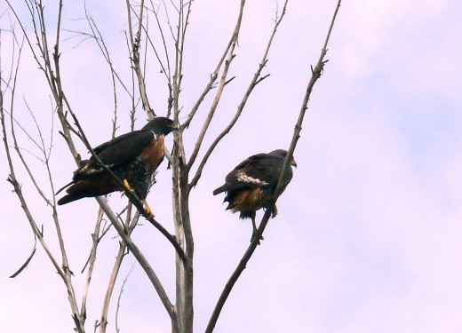 A Pair of Jackal Buzzards near the clubhouse
