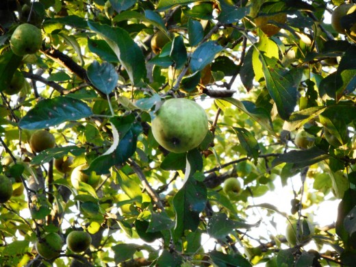 Backyard Apple Tree – Moderate Zoom