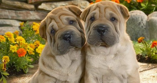 The Shar Pei is one of the ancient Chinese dog breeds.