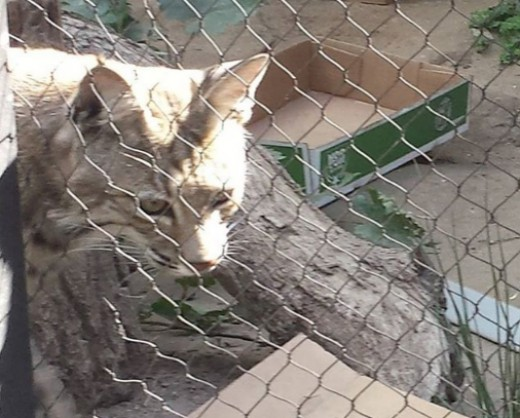 Micke Grove Zoo is home to more than 130 animal specimens, including a bobcat, a snow leopard, golden lion tamarins, lemurs, fossas, tortoises, and more.