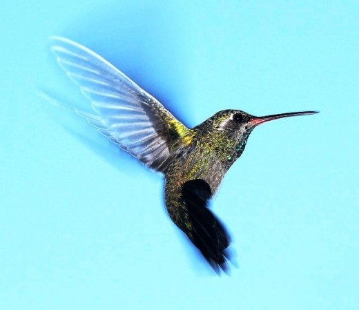 Humming bird in all its glory.