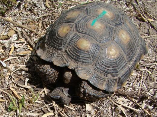 Texas tortoise.