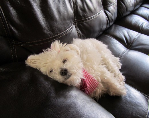 The Maltese is one of the tiny dogs that does not shed much on the couch.